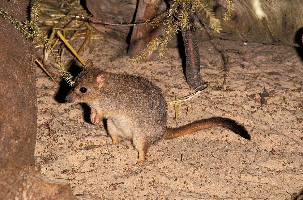 Mezi štíří predátory patří i klokánek králíkovitý.