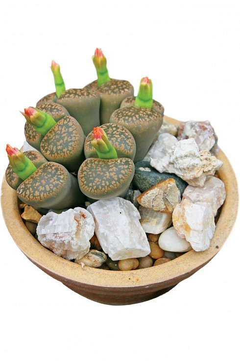 Živé kameny –vpřírodě jsou úplně schované vzemi, vidět je jen vrchní ploška, jíž proniká dorostliny světlo.