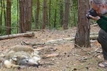 Z hlubokých lesů u obce Brenná na Českolipsku přišla smutná zpráva. Náhodný houbař na místě našel tělo uhynulého vlka.