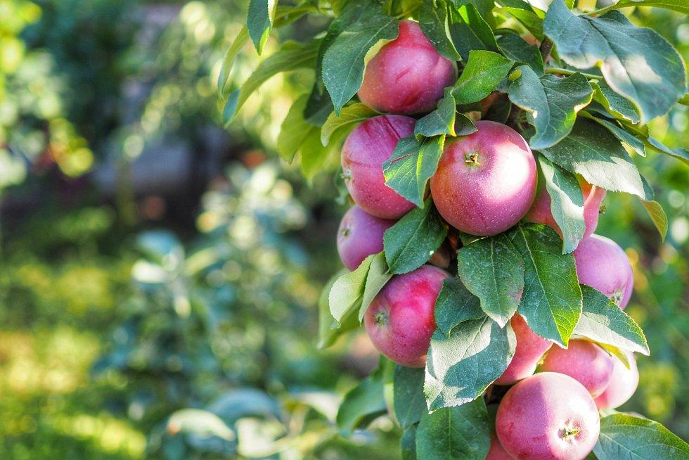 Jabloně jsou nejméně náročné na pěstování, ale potřebují vyšší relativní vlhkost vzduchu.