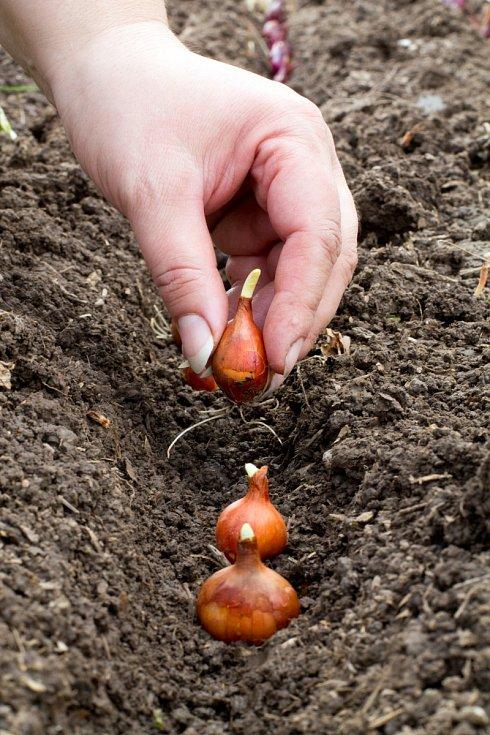 S výsadbou neotálejte, než udeří mrazy, musí cibulky dobře zakořenit, aby zimu přežily.