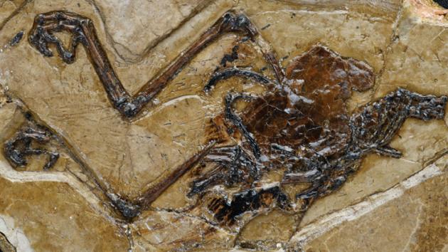 Nejstarší fosilie s vejcem v útrobách a zároveň nový druh pravěkého ptáka - avimaia schweitzerae