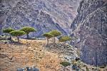 Dračince rumělkové rostoucí na ostrově Sokotra