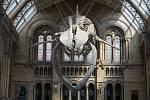 Kostra plejtváka obrovského se stala novou hlavní atrakcí Přírodopisného muzea v Londýně
