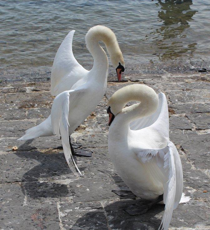 Labutí tanec.