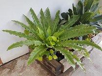 Sleziník hnízdovitý (Asplenium nidus)