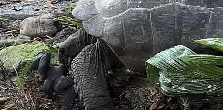 Unikátní záběry. Želva úspěšně ulovila ptáče a následně jej pozřela