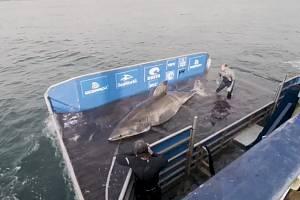 Obří samice žraloka bílého měřila úctyhodných pět metrů a dvacet centimetrů