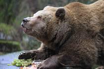 Vánoční krmení medvědů v Krumlově.
