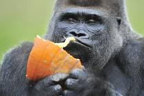 Gorilí samice Koko