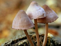 Lysohlávky. Ilustrační foto