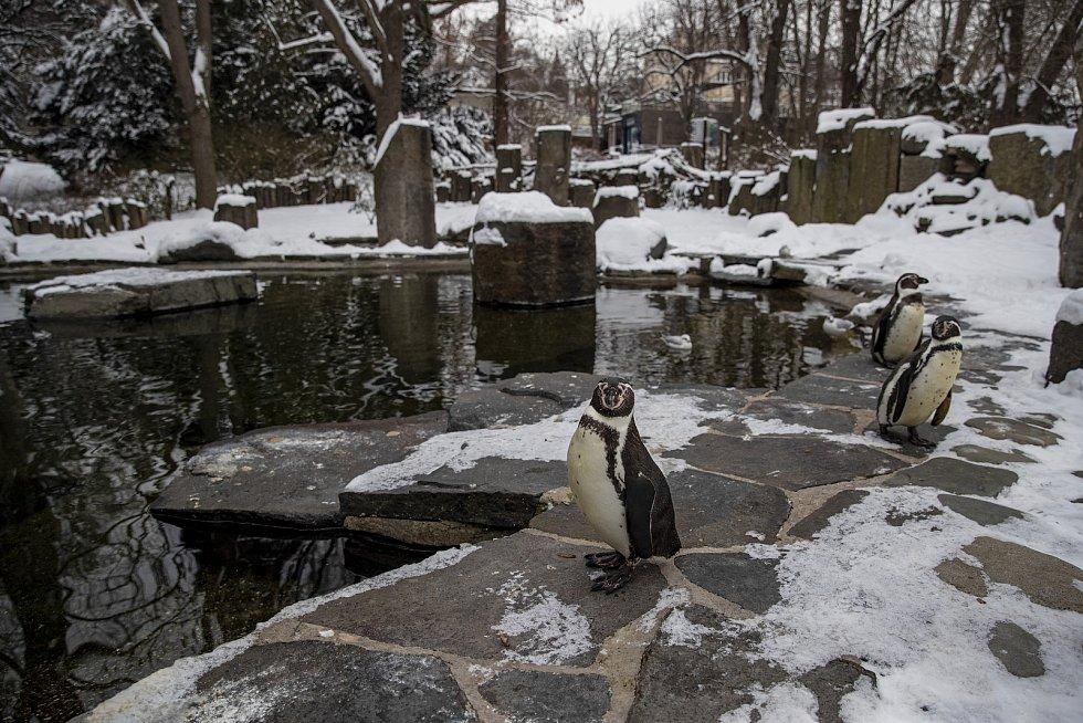 Dalším, kdo by zimu mohl mít rád, jsou tučňáci. Ale prý tomu tak není.