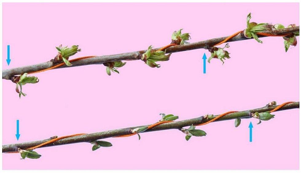 Horní větev na fotce má na 2 otáčky 5 rašících pupenů, zatímco dolní na 3 otáčky 8 pupenů. Modré šipky ukazují pupeny, které na jednotlivých větvích vyrůstají přesně nad sebou