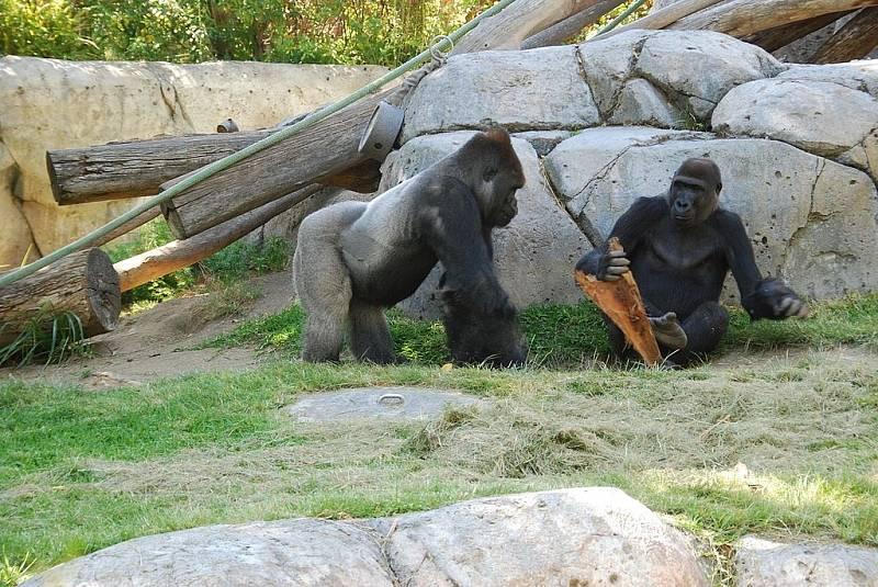 Zatím není známo, jaký průběh nemoci budou gorily případně mít, ilustrační foto