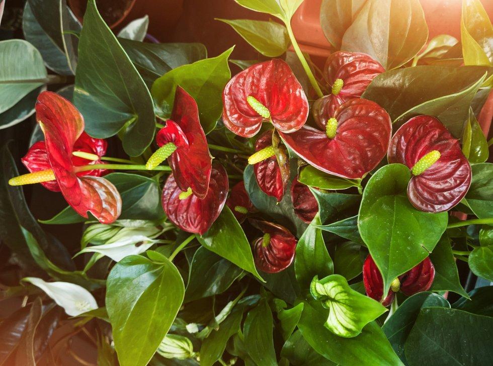 Anturie neboli toulitky známe spíš jako řezané exotické květiny, dnes se už ale dají úspěšně pěstovat i jako pokojovky.