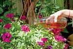Pro podporu kvetení hnojíme jednou týdně.