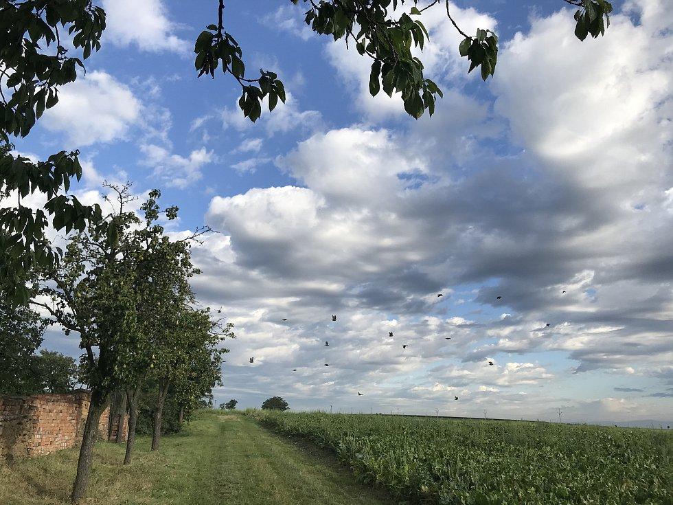Boj se špačky. Kolem vinice jich krouží tisíce. Očesávají i hrušky na stromech u vinohradu. 26. srpna 2020