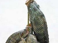 Keňští vědci nyní spoléhají na nilskou pražmu. Ryba žijící v afrických vodách pojídá larvy komárů.