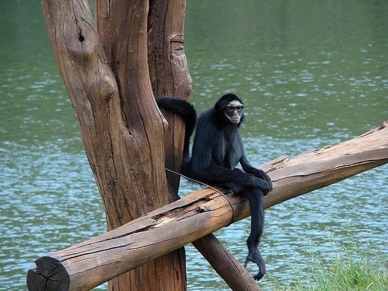 Opice Ateles marginatus, kterým se přezdívá pavoučí opice, patří mezi ohrožené amazonské druhy. I na území, kde žijí, se už dostaly plameny.