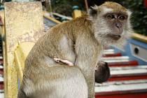 Tisíce opic vzaly útokem indické město Šimla, bývalou letní metropoli britské koloniální vlády. Primáti tam útočí na místní obyvatele i návštěvníky a často jim způsobují vážná zranění.