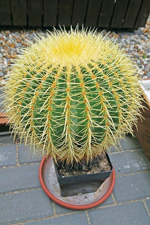 """Nejstarší kaktus sbírky Echinocactus grusonii, je starý 40 let. """"Tehdy to byla vzácná věc,"""" říká Pavel Líznar."""