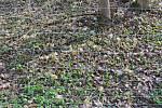 Mariánské Lázně se rozhodly lokalitu, kde roste česnek medvědí, oplotit.