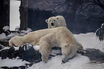 Největší radost ze zimy a nového sněhu mají lední medvědi, kteří jsou typičtí pro severní polární oblast.