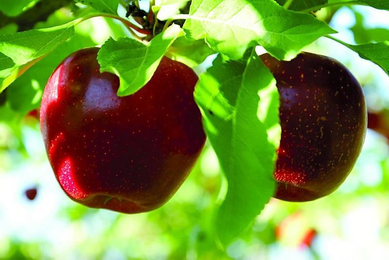 Navzdory chladnějšímu jaru a tomu, že letos začala sklizeň jablek později, byla podle českých ovocnářů tentokrát úroda lepší než loňská. Jablka jsou větší a kvalitnější.