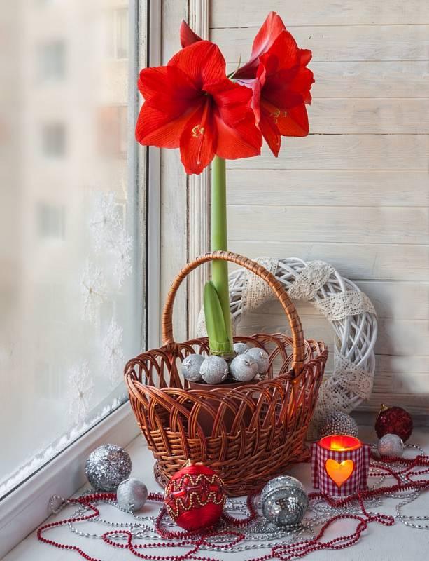 Hvězdník dobře snáší suchý vzduch a nižší vlhkost, proto ho můžete s úspěchem pěstovat ve vytápěných bytech.