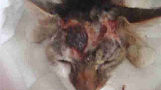 Týraný kocour z Libně