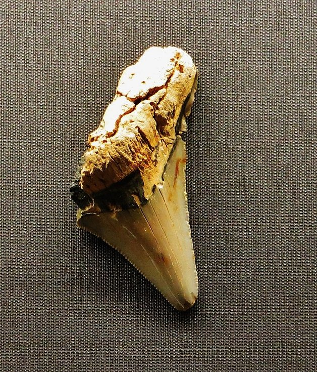 Fosilie prehistorického žraločího zubu druhu Carcharocles v Muzeu přírodních dějin ve Wiesbadenu