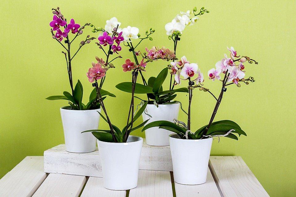 Orchideje jsou velice choulostivé, chraňte je před průvanem.