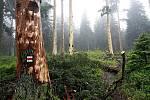 I.zóna národního parku Šumava, stezka na vrchol Smrčiny. Odkorněné smrky nastojato pod vrcholem Smrčiny