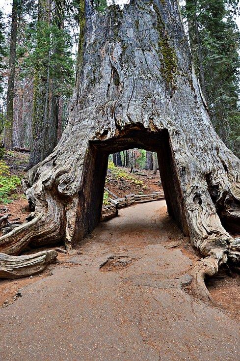Sekvoje přezdívaná Pioneer Cabin padla za oběť podmáčené půdě a silné bouřce. Strom proslavil obří tunel v kmenu.