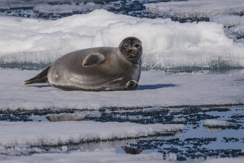 Bajkalský tuleň, ilustrační foto