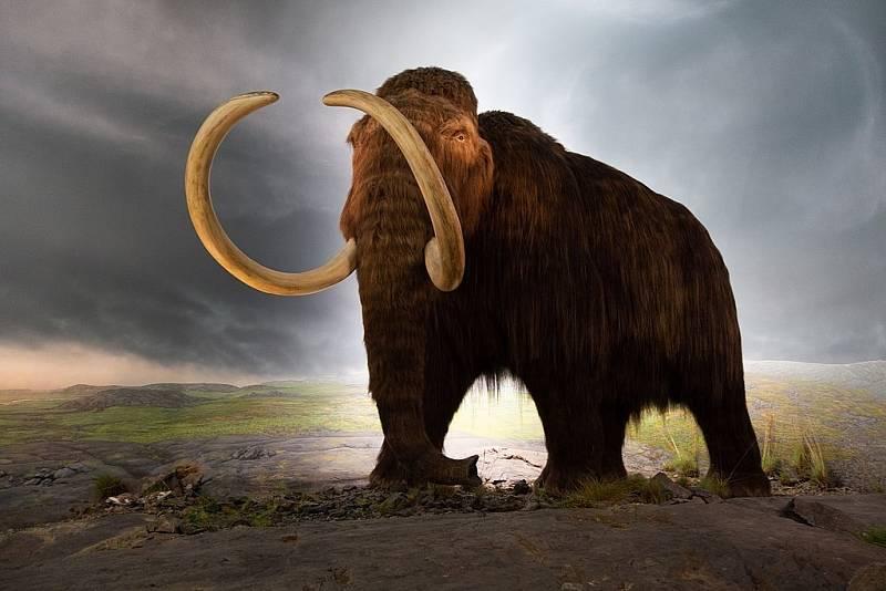 Model mamuta srstnatého v muzeu v Britské Kolumbii. Pokud vědci z Harvardu uspějí, za pár let lidé uvidí stejně vypadající zvíře i živé.