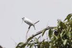 Zvonovec bílý