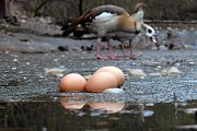 """Teplé počasí uspíšilo námluvy v zoologické zahradě na Svatém Kopečku.  """"Našli jsme vejce přímo na ledu zdejšího zamrzlého rybníčku. Žádný z ptáků se k nim však najednou nehlásí. Nevíme proto, komu vlastně patří,"""" sdělila mluvčí zoo Hana Labská."""