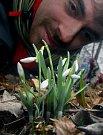 V chráněné krajiné oblasti Litovelské pomoraví rozkvetla sněženka podsněžník
