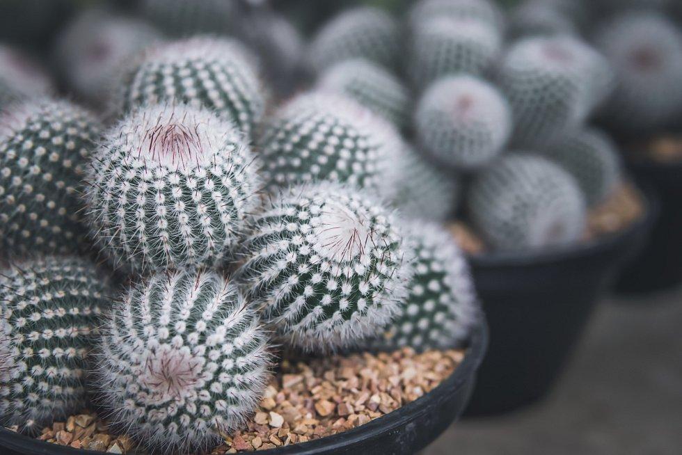 Kaktusy jsou nenáročné a velmi vděčné rostliny.