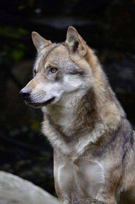 Na seznam chráněných druhů se v USA vrátil až po rozhodnutí soudu.