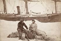 Tuleňářská loď Viking v roce 1882, kdy ještě skutečně sloužila k lovu tuleňů. V popředí její tehdejší kapitán Axel Krefting (vpravo), sedící na zastřeleném ledním medvědu ve společnosti norského vědce Fridtjofa Nansena