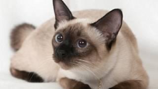 Černá britská kočička