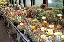 Sbírka každého kaktusáře je významně limitována místem ve skleníku –některé kaktusy, zvláště ty sloupovité, se musí proto podle potřeby řezat.