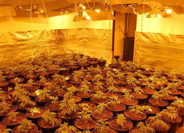 Odhalená pěstírna marihuany v Dolním Rychnově (zhruba 2 tisíce rostlin)