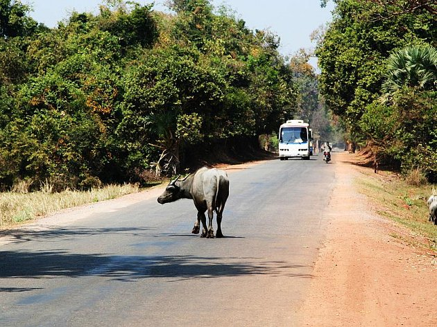 V Indii se řidiči podřizují zvířatům.