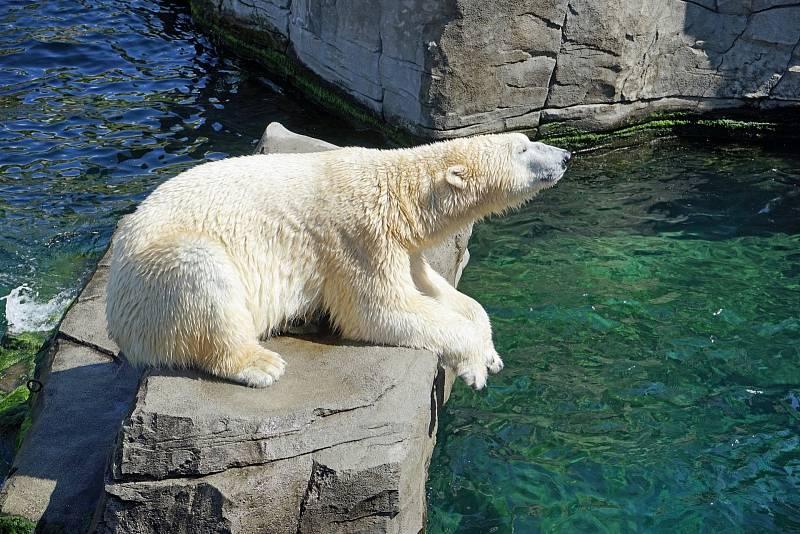 Inuité si po generace předávali pověsti o tom, že lední medvědi v Grónsku a Arktidě loví mrože pomocí nástrojů - háží jim na hlavy kameny či led. Vědci nyní tyto teorie potvrzují. Ilustrační foto