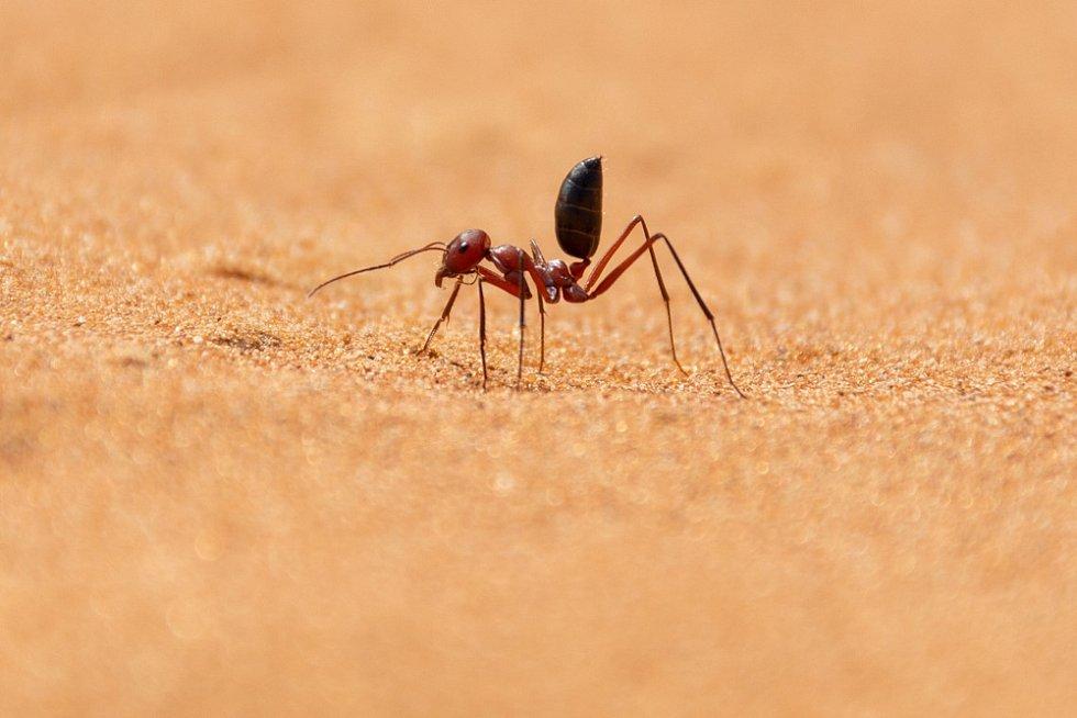 Pouštní mravenec (Cataglyphis bicolor)