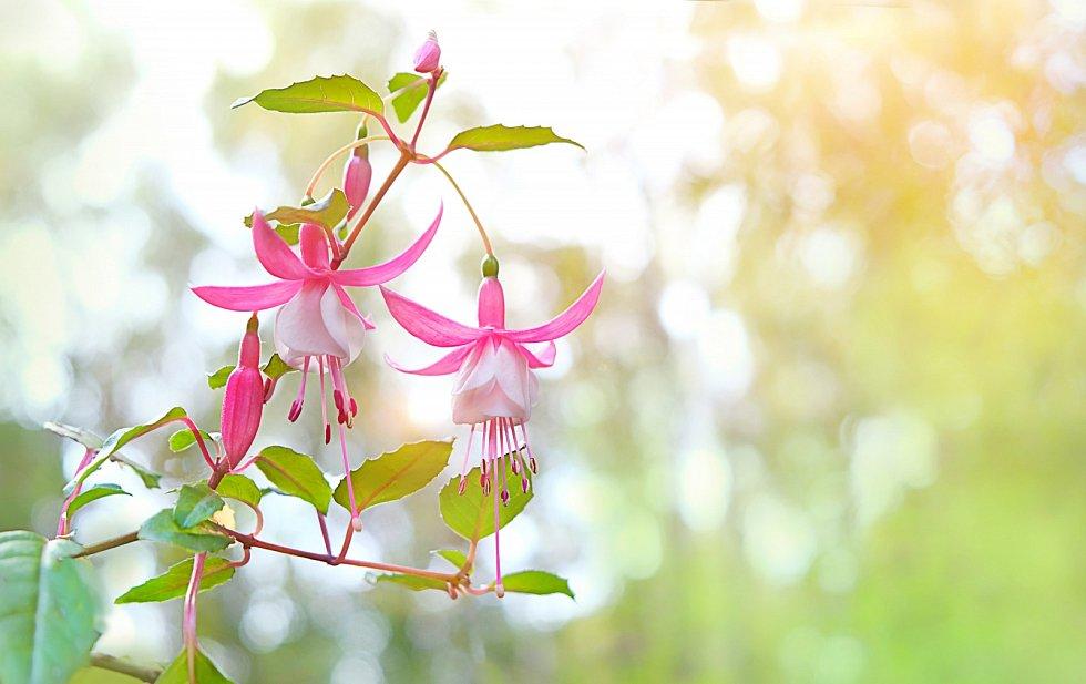 Fuchsie, jedny z nejoblíbenějších balkonových květin.