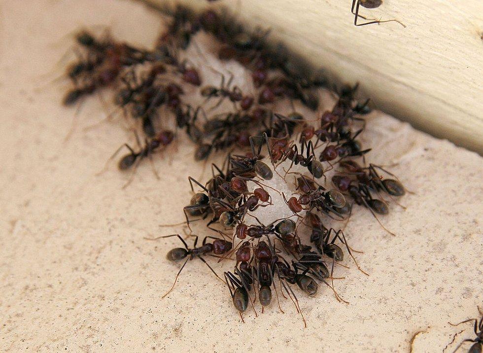 """Hromadné """"krmení"""" mravenců"""